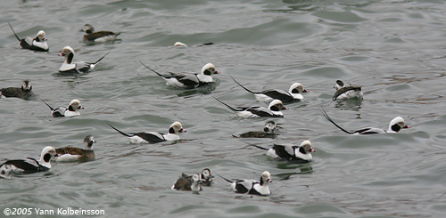 Long-tailed Duck, a common winter bird around Reykjavík