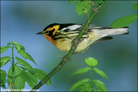 Blackburnian Warbler, an absolute gem