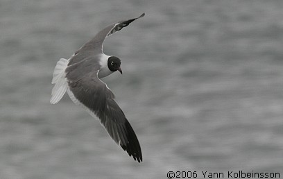 The Laughing Gull