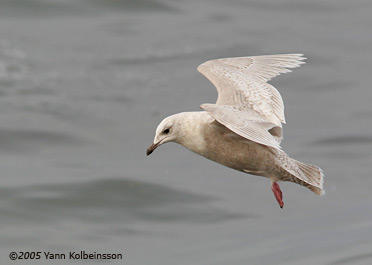 First-winter Iceland Gull